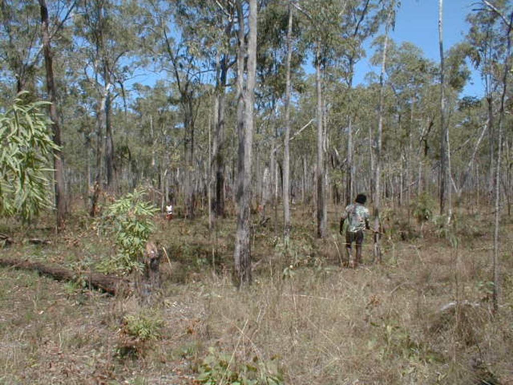 stringybark eucalyptus forest