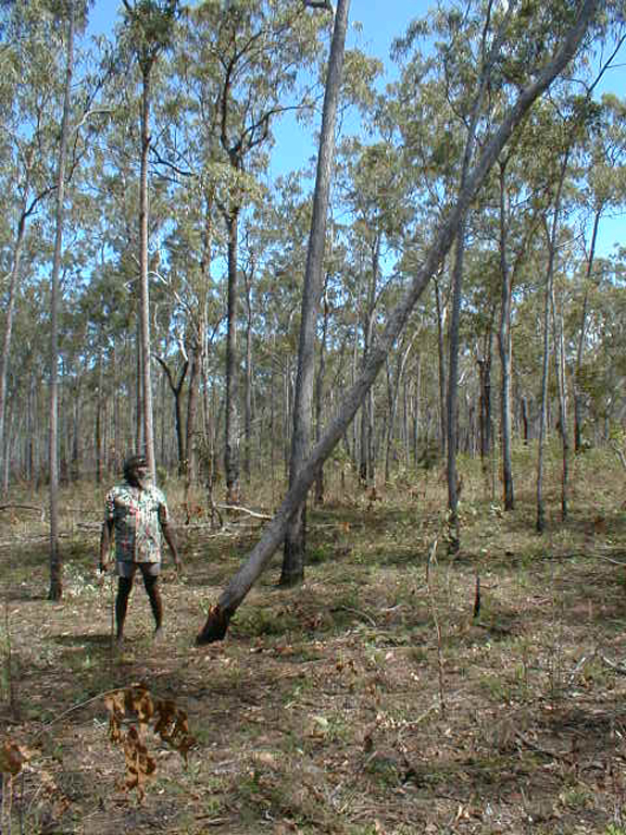 Djalu can not tell a lie. He chopped down the stringybark tree.